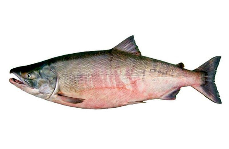 как выглядит рыба кета