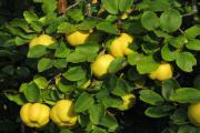 Айва - полезный фрукт