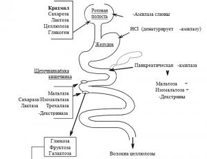 Ферменты кишечника