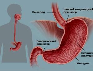 Функции желудка