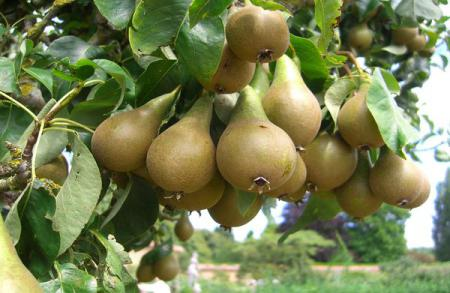 Груша - фрукт