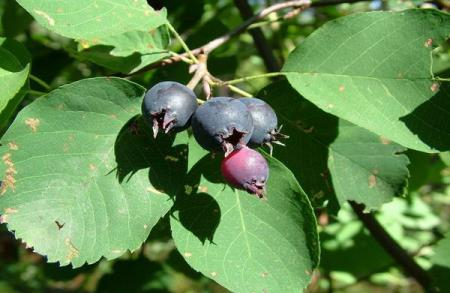 Ирга - полезные ягоды