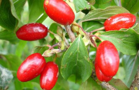 Кизил - полезные ягоды