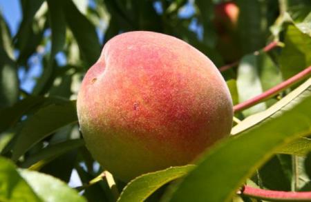 Персик - фрукт и фруктовое дерево