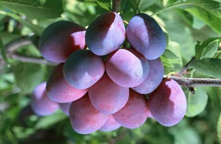 Слива: фото и описание фрукта, состав, калорийность