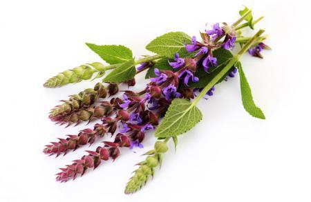 Шалфей - лекарственное растение