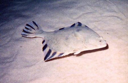Камбала: фото, описание рыбы, состав и калорийность
