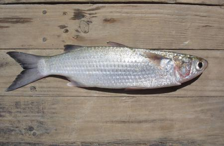Кефаль: описание рыбы, фото, состав, калорийность