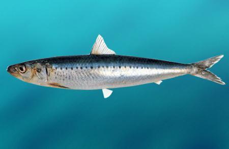 Сельдь: фото, описание рыбы, состав и калорийность