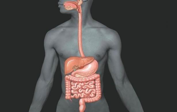 Пищеварение в тонком и толстом кишечниках, роль кишечника в пищеварении